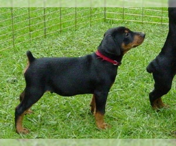 Medium Photo #2 German Pinscher Dog Breed
