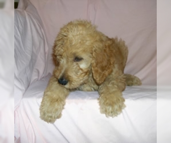 Image of Goldendoodle Breed