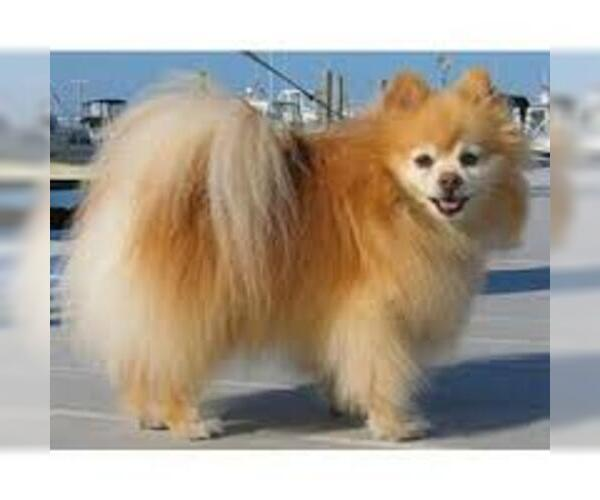 Medium Photo #6 Pomeranian Dog Breed