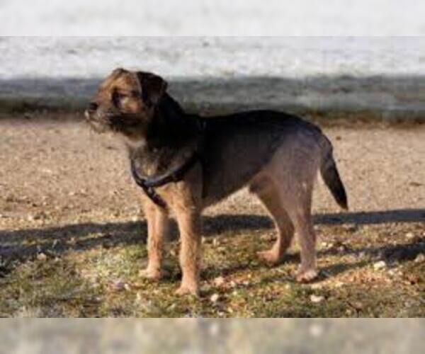 Medium Photo #4 Border Terrier Dog Breed