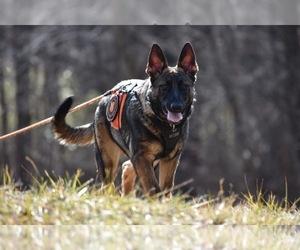 German Shepherd Dog Dog Breeder near COLUMBIA, MO, USA