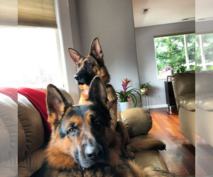 German Shepherd Dog Dog Breeder near DAMASCUS, OR, USA