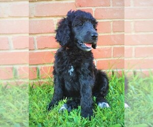Main photo of Poodle (Standard) Dog Breeder near WICHITA FALLS, TX, USA