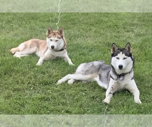 Main photo of Siberian Husky Dog Breeder near LORETTO, PA, USA