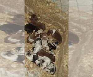 Main photo of Australian Shepherd Dog Breeder near RILEY, KS, USA