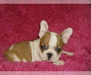 French Bulldog Breeder in FAIRVIEW, UT, USA