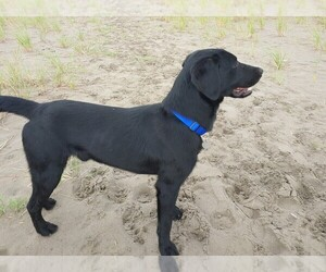 Main photo of Labrador Retriever Dog Breeder near PRESCOTT, OR, USA