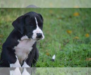 Great Dane Breeder in MARTINSVILLE, VA