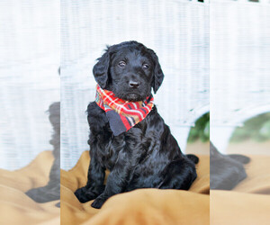 Main photo of Goldendoodle Dog Breeder near CONWAY, AR, USA