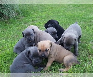 Main photo of Cane Corso Dog Breeder near CANTON, GA, USA