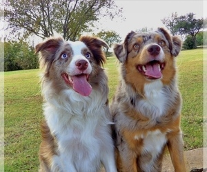 Main photo of Miniature Australian Shepherd Dog Breeder near DEL CITY, OK, USA