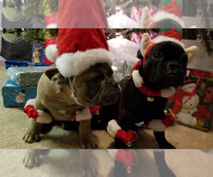 French Bulldog Breeder in SAN JACINTO, CA, USA