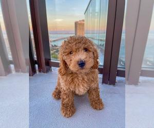 Goldendoodle-Poodle (Standard) Mix Dog Breeder in CUTLER BAY,  USA