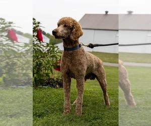 Goldendoodle (Miniature) Dog Breeder in EAST EARL,  USA
