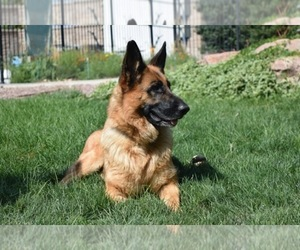 Main photo of German Shepherd Dog Dog Breeder near PUEBLO, CO, USA