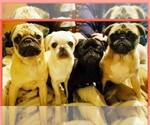Pug Breeder in SWISSHOME, OR, USA