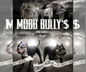 American Bully Dog Breeder in LANDOVER,  USA