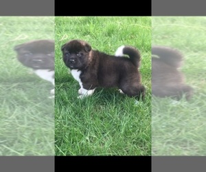 Main photo of Akita Dog Breeder near FISHERS, IN, USA
