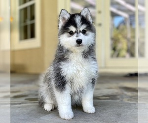 Pomsky Dog Breeder in WINDERMERE,  USA