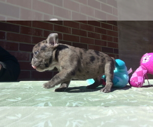 Main photo of French Bulldog Dog Breeder near ELIZ CITY, NC, USA
