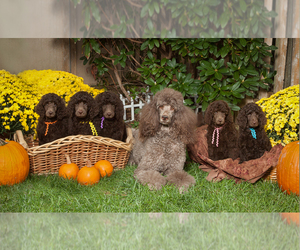 Main photo of Poodle (Standard) Dog Breeder near HAMPSTEAD, MD, USA