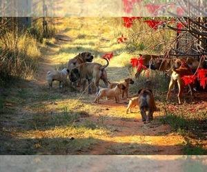 Boerboel Dog Breeder in HAMBURG,  USA