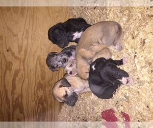 Great Dane Breeder in MORGANTOWN, KY