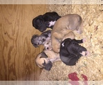 Great Dane Breeder in MORGANTOWN, KY, USA
