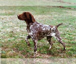 German Shorthaired Pointer Dog Breeder in NORTH JUDSON,  USA