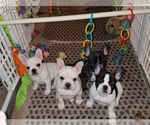 French Bulldog Breeder in QUAKERTOWN, PA, USA