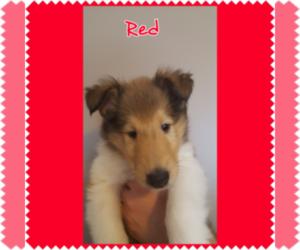 Main photo of Collie Dog Breeder near MONTOURSVILLE, PA, USA