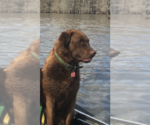 Chesapeake Bay Retriever Breeder in COLUMBIA, SC, USA