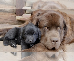 Main photo of Newfoundland Dog Breeder near DEL NORTE, CO, USA