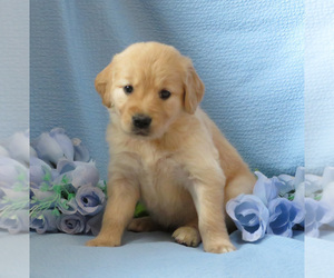 Golden Retriever Dog Breeder in MECHANICSVILLE,  USA