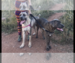 Cane Corso Breeder in COLORADO SPRINGS, CO, USA