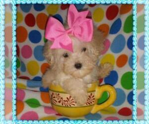 Maltipoo Dog Breeder in TAYLOR,  USA