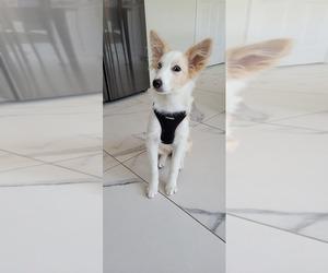 Border Collie Dog Breeder in ENGLEWD CLFS,  USA