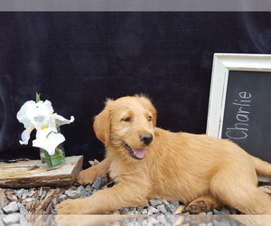Labradoodle Dog Breeder in GLENIRON,  USA