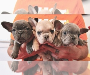 French Bulldog Dog Breeder in BERWYN,  USA