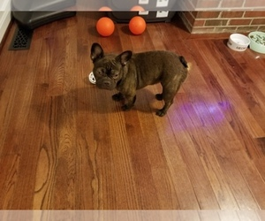 Main photo of French Bulldog Dog Breeder near FRED, VA, USA