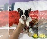 French Bulldog Breeder in JACKSONVILLE, FL, USA