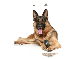 Main photo of German Shepherd Dog Dog Breeder near LOS ANGELES, CA, USA