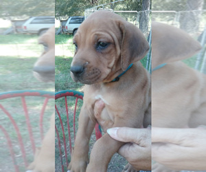 Rhodesian Ridgeback Dog Breeder near GENEVA, AL, USA