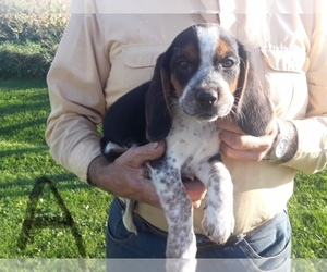 Main photo of Beagle Dog Breeder near GRAFTON, WI, USA