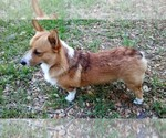 Pembroke Welsh Corgi Breeder in PORT CHARLOTTE, FL, USA