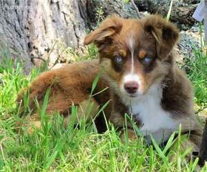 Main photo of Miniature Australian Shepherd Dog Breeder near VALLEY SPGS, CA, USA