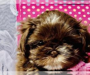 Shih Tzu Dog Breeder in GREENVILLE,  USA