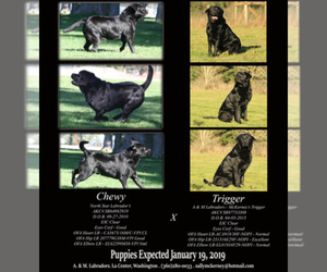 Main photo of Labrador Retriever Dog Breeder near LA CENTER, WA, USA