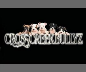 Main photo of American Bully Dog Breeder near CONVERSE, TX, USA