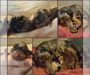Main photo of Dachshund Dog Breeder near TULSA, OK, USA